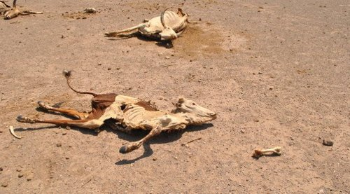 Carcasses of cattle litter the landscape in northeastern Ethiopia. More than 80 percent of Ethiopia's population works in agriculture, making the country especially vulnerable to drought.