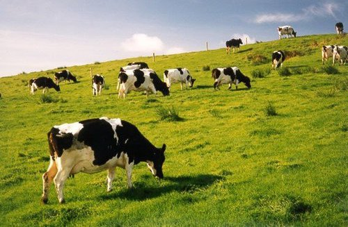 Cows in Ireland, where the population can digest milk.