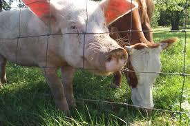 Pig cows