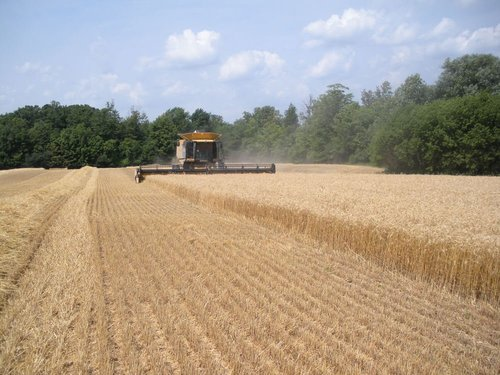 Wheat harvest and stressed corn 064 o91zwk