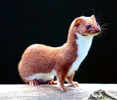 Mustela nivalis  british wildlife centre 4